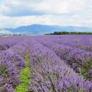 Provence Lavande à Valensole 2